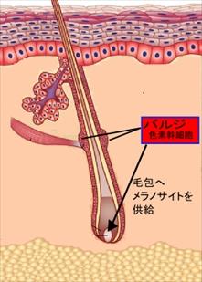 色素幹細胞(バルジ)とは?
